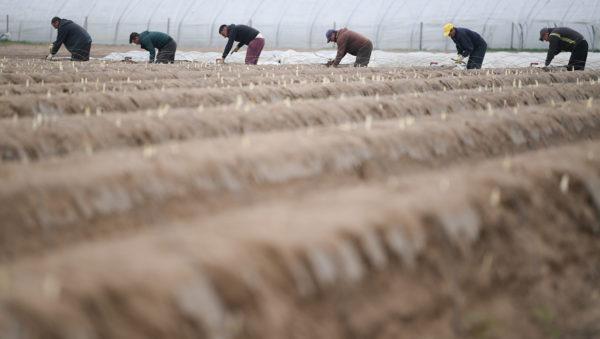 德国西部的芦笋种植地。资料图片。(Arne Dedert / dpa / AFP) / Germany OUT